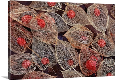 Fruits Of A Chinese Lantern Plant