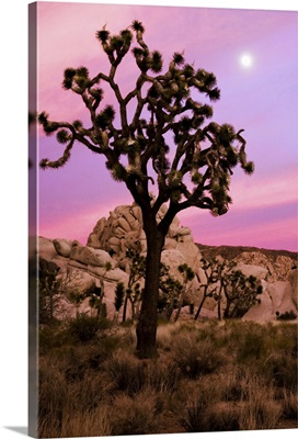 Full moon and a Joshua tree against a pink sky