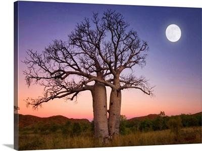 Full moon on sunset over boab trees