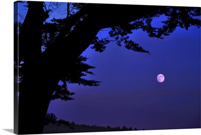 Full moon seen rising through branches of Monterey Cypress at Sea Ranch, California.