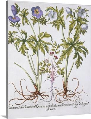 Geranium Muscatum by Basil Besler