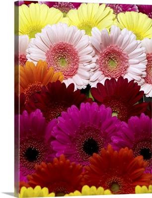 Gerbera daisies of different colors.