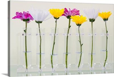 Gerberas in vases