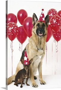 German Shepherd And A Chihuahua With Party Hats And Red