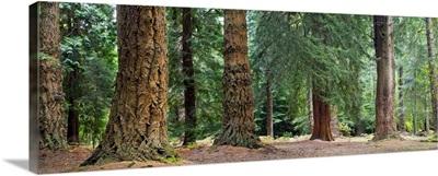Giant Redwoods, California, USA