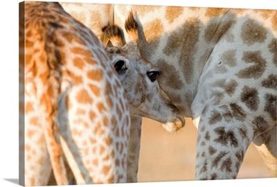 Giraffe calf suckling, Imire Safari Ranch, Zimbabwe