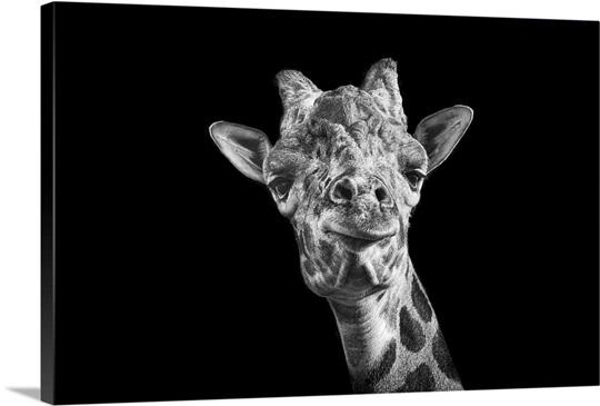 Giraffe in Black And White on