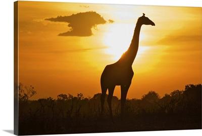 Giraffe of silhouette, masai mara.