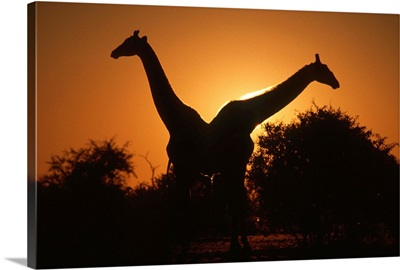 Giraffe Pair Silhouetted at Dusk. Kruger National Park, South Africa