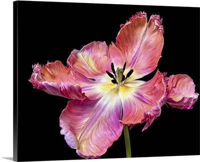 Glorious Apricot Tulip