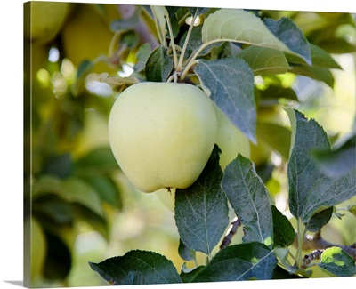 Golden Delicious apples on a tree in an orchard