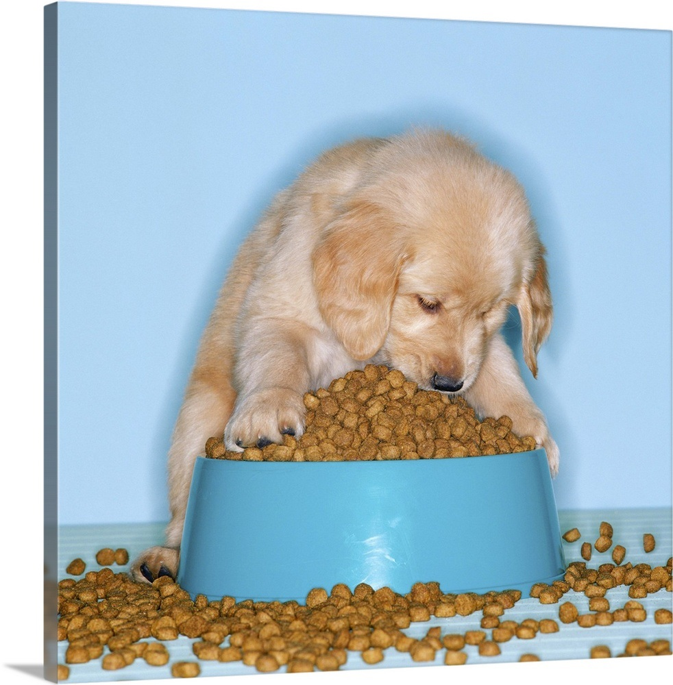 Golden retriever puppy eating dog food from an overflowing tray
