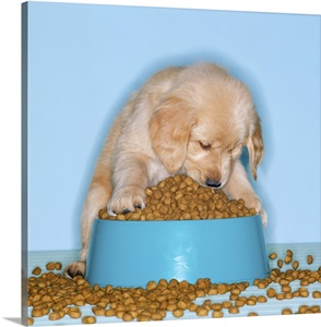 Golden Retriever Puppy Eating Dog Food From An Overflowing