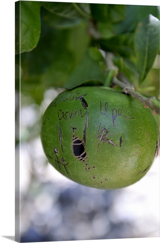 Pomelo Fruit Pics
