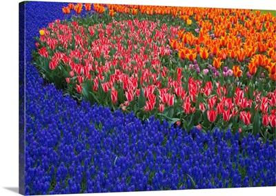 Grape Hyacinths And Tulips