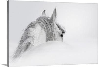 Gray Andalusian Stallion