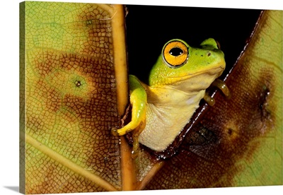 Green Reed Frog Sitting On A Plant