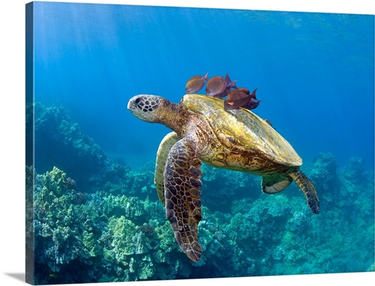 Green Sea Turtle And Tropical Fish Underwater In Oahu Hawaii
