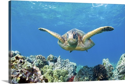Green sea turtle swimming and coral reef underwater, Maui, Hawaii.