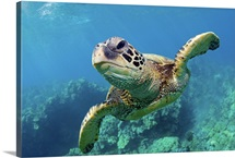 Green sea turtle swimming over coral reef underwater in Maui, Hawaii.