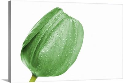 Green tulip head