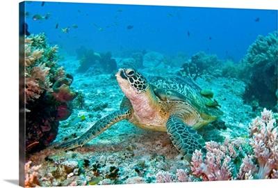 Green turtle at Balicasag, Bohol, Philippines.