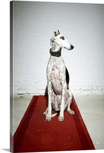 Greyhound on a red carpet