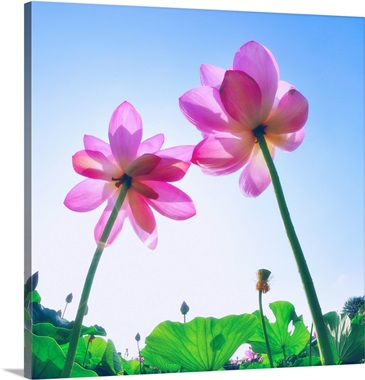 Haraichi Numa Lotus Garden In Ageo City Saitama Prefecture Japan