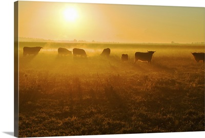 Herd of bull in field at sunset.