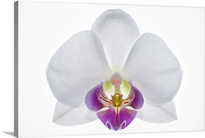 Highly detailed close-up of an orchid, on white
