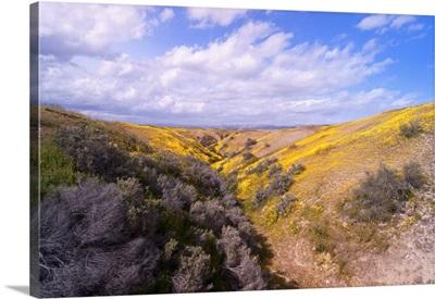 Hills of wildflowers, California