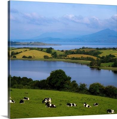 Holstein-Fresian Cattle, Bantry Bay, Co Cork, Ireland