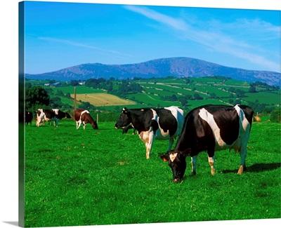 Holstein-Friesian cows near Borris, County Carlow, Ireland