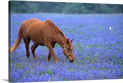 Horse Grazing Among Bluebonnets