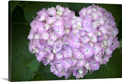 Hydrangea purple flower in heart shape.