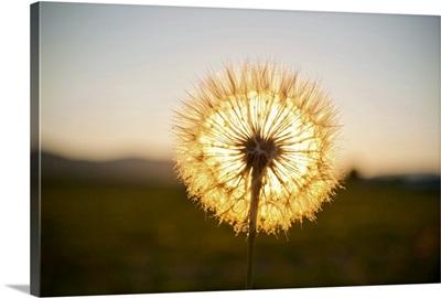 Illuminated dandelion puff.