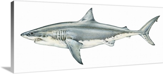 Shark Wall Art illustration of great white shark (carcharodon carcharias), a type