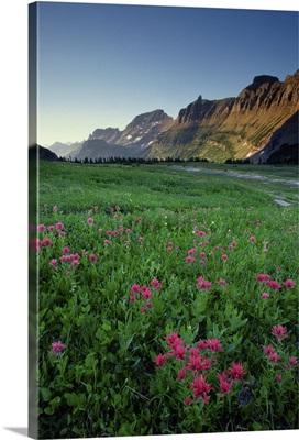 Indian paintbrush at Logan Pass, Glacier National Park, Montana