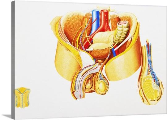 Internal anatomy of ma...