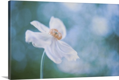 Isolated white cosmos with petals motioned by the wind, against blue bokeh background.