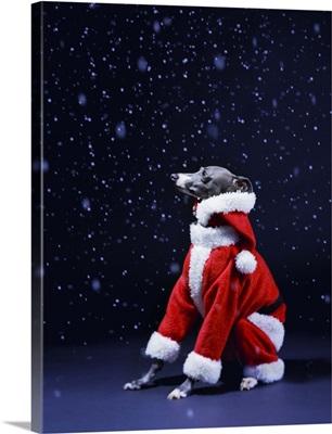 Italian greyhound wearing a Santa Claus suit