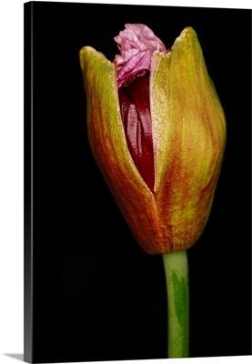 Izmir bush poppy  bud opening