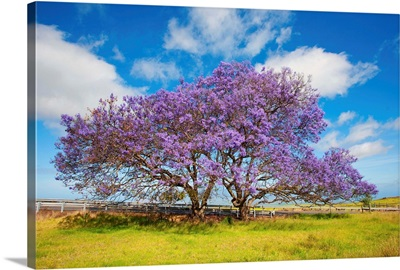 Jacaranda Trees In Bloom In The Up-Country On Maui