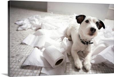 Jack russell terrier.