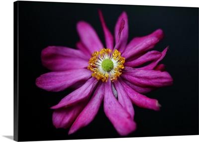 Japanese anemone 'Prince Henry'