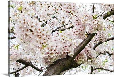 Japanese cherry in full bloom.