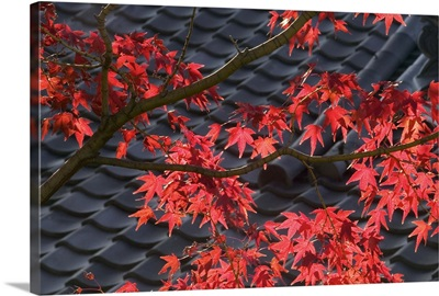 Japanese maple and roof detail of Ayu No Chaiya Tea House, Kyoto, Honshu, Japan