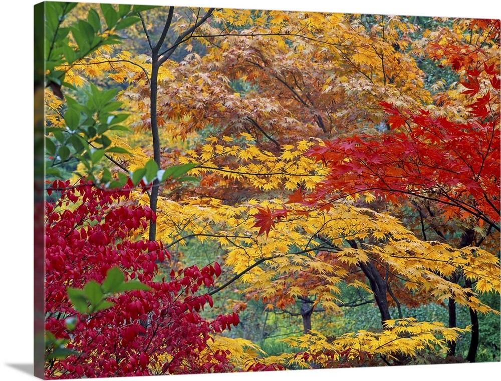 Japanese Maple Trees Autumn Wall Art Canvas Prints