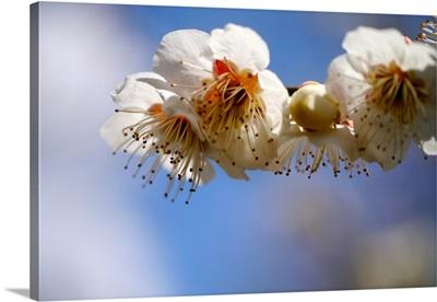Japanese plum flowers.