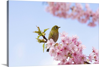 Japanese white eye bird on cherry blossom with blue sky.